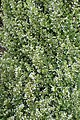Calamintha nepeta Montrose White kz1.jpg