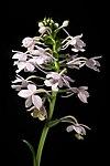 File:Calanthe masuca fma. albescens (D.Don) Lindl., Gen. Sp. Orchid. Pl. 249 (1833) (47966397272).jpg