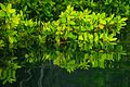Caleta Tortuga Negra mangrove scenes - Isla Santa Cruz - (16057476564).jpg