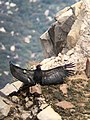 California condor chick -871 spreads its wings to the sun. (38817069894).jpg