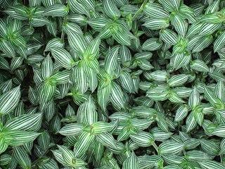 <i>Callisia</i> genus of plants