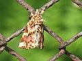 Callopistria juventina - The Latin - Мохноногая совка красноватая (41014921182).jpg