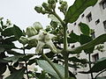 Calotropis gigantea-yercaud-salem-India.JPG
