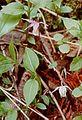 Calypso bulbosa closeup 2-mgrover (5097454031).jpg