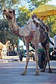 Camel at the Taj Mahal entrance, India, 2013-03 (11551248175).jpg