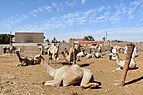 Camel market at Daraw in 2017, photo by Hatem moushir 14.jpg