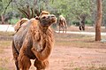 Camels in Ridiyagama Safari Park.jpg