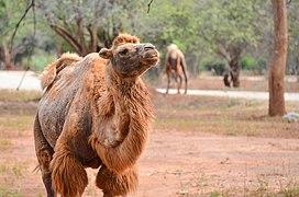 Camels in Ridiyagama Safari Park.jpg