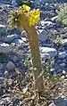 Camissonia brevipes monstrosa 3.jpg