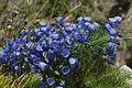 Campanula cochleariifolia (habitus).jpg