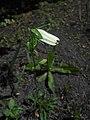 Campanula persicifolia 2016-06-06 2450.jpg