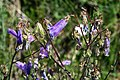 Campanula sibirica 3.jpg