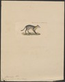 Canis cancrivorus - 1834 - Print - Iconographia Zoologica - Special Collections University of Amsterdam - UBA01 IZ22200431.tif