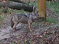 Canis lupus signatus (Kerkrade Zoo) 32.jpg