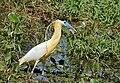 Capped Heron (Pilherodius pileatus) (31750992576).jpg