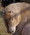 Capybara 2d (5511995827).jpg