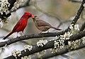Cardinalis cardinalis in Cercis canadensis.jpg