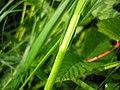 Carex disticha leaf (02).jpg