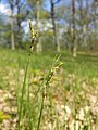 Carex praecox sl42.jpg
