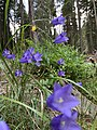 Carpathian flowers.jpg