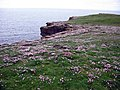Carpet of Sea Thrift at Noup Head - geograph.org.uk - 284576.jpg