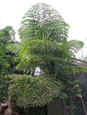 Pinnation - Bipinnate leaves of species of palm in the genus Caryota