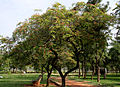 Cassia roxburghii (Red Cassia) tree in Hyderabad W IMG 8951.jpg