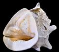 Cassis cornuta3.png