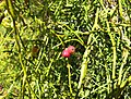 Cassytha ciliolata Fruit Flower Buds Haustoria IMG 3889s.JPG