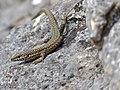 Catalonian Wall Lizard (Podarcis liolepis cebennensis) (14042432936).jpg