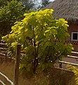 Catalpa bigninioides 'Aurea' 080720086070.jpg