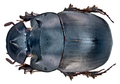Catharsius molossus (Linné, 1758) male (15981329952).png