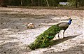 Cats and Peacock together at Plaka Forest.jpg
