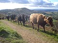 Cattle on Pinnacle Hill - geograph.org.uk - 1131901.jpg
