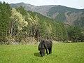 Cavalli al pascolo nei prati dell'Aina.jpg