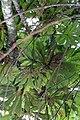 Cecropia obtusifolia 21zz.jpg