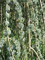 Cedrus libani ssp. atlantica 'Glauca Pendula' needles by Line1.jpg