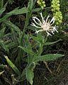 Centaurea montana PID1991-3.jpg