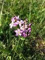 Centaurium erythraea (subsp. erythraea) sl10.jpg