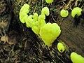 Ceratiomyxa Yuzhno-Sakhalinsk, Russia. 3.jpg