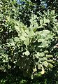 Ceratonia siliqua kz3.jpg