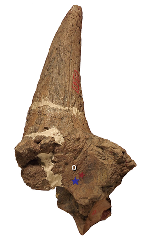 Ceratops - Holotype left horncore