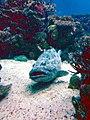 Cernia (Oceanário) (3093436072).jpg