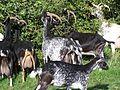 Chèvres de lorraines.jpg