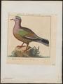 Chalcophaps indica - 1759-1763 - Print - Iconographia Zoologica - Special Collections University of Amsterdam - UBA01 IZ15600263.tif