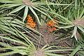Chamaerops humilis MS9644.jpg