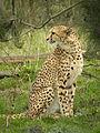 Cheetah (4497267617) (3).jpg