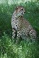 Cheetah (7613087824).jpg