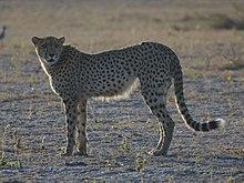 Cheetah Botswana.jpg