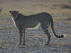 definition of acinonyx